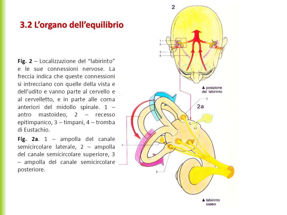 3.2 L'organo dell'equilibrio