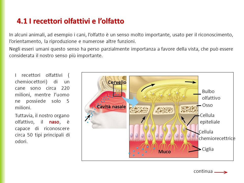 4.1 I recettori olfattivi e l'olfatto