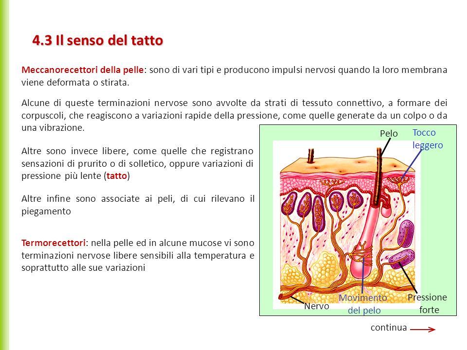 4.3 Il senso del tatto Meccanorecettori della pelle: sono di vari tipi e producono impulsi nervosi quando la loro membrana viene deformata o stirata.