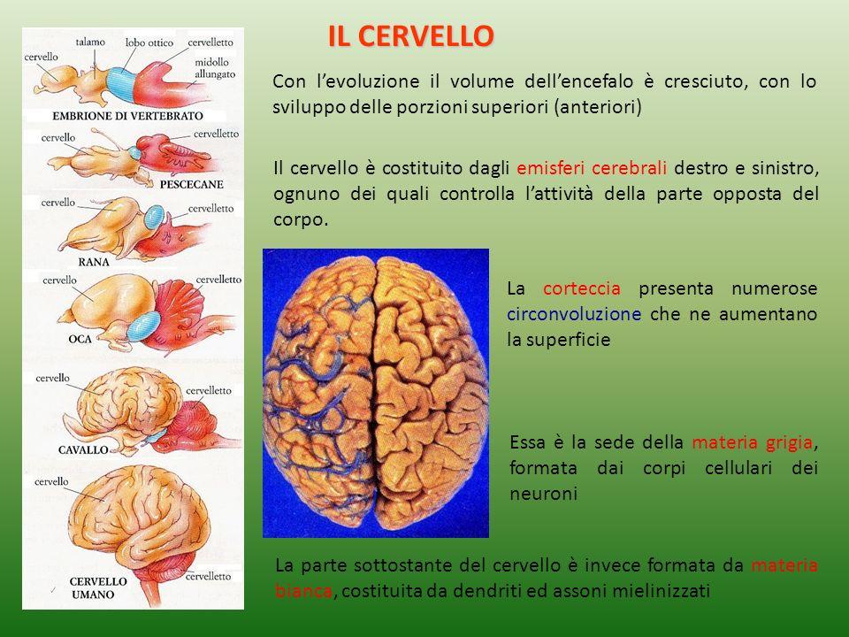 IL CERVELLO Con l'evoluzione il volume dell'encefalo è cresciuto, con lo sviluppo delle porzioni superiori (anteriori)