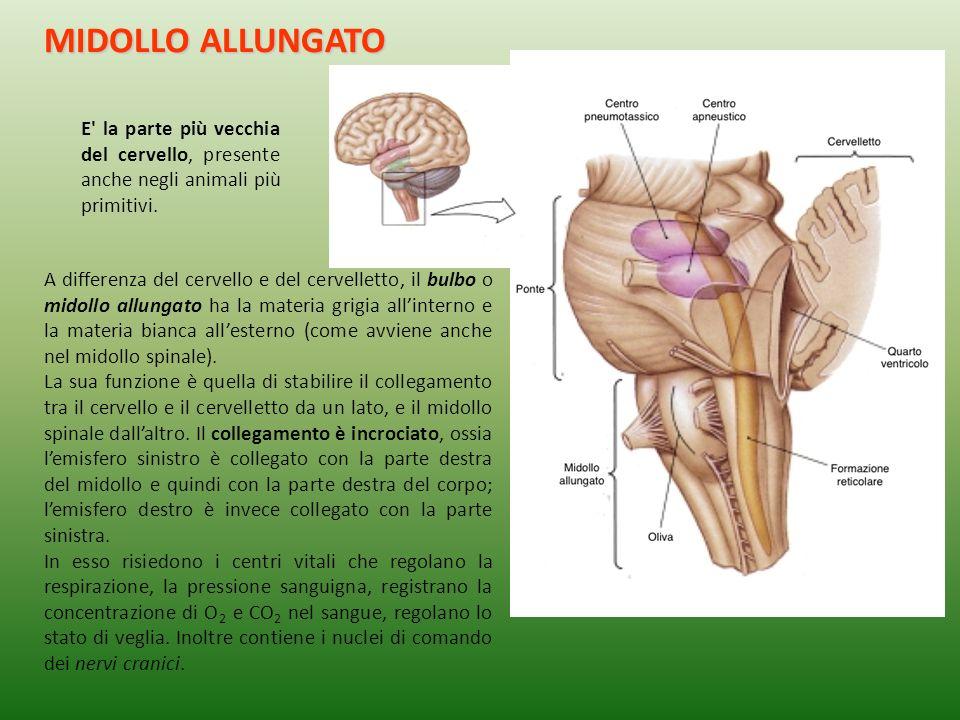 MIDOLLO ALLUNGATO E la parte più vecchia del cervello, presente anche negli animali più primitivi.