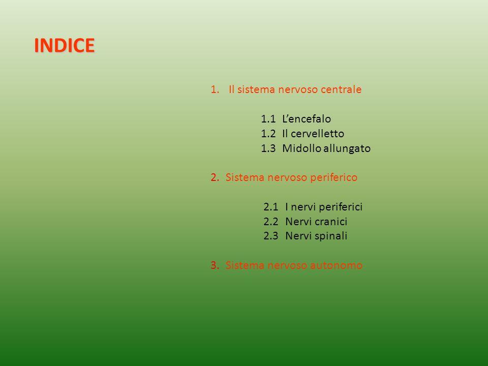 INDICE Il sistema nervoso centrale 1.1 L'encefalo 1.2 Il cervelletto