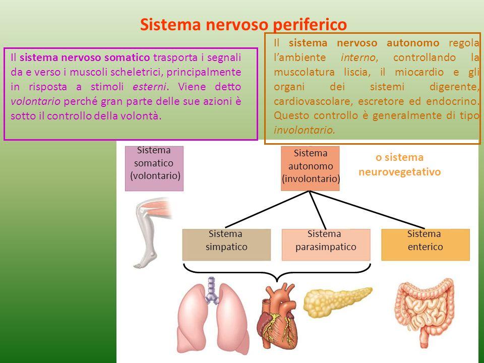 Sistema nervoso periferico o sistema neurovegetativo