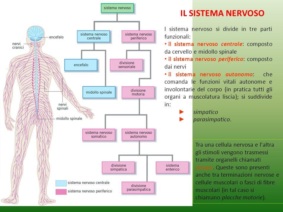 IL SISTEMA NERVOSO l sistema nervoso si divide in tre parti funzionali: il sistema nervoso centrale: composto da cervello e midollo spinale.