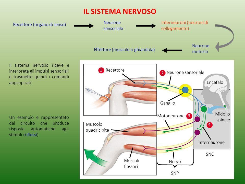 IL SISTEMA NERVOSO Neurone sensoriale
