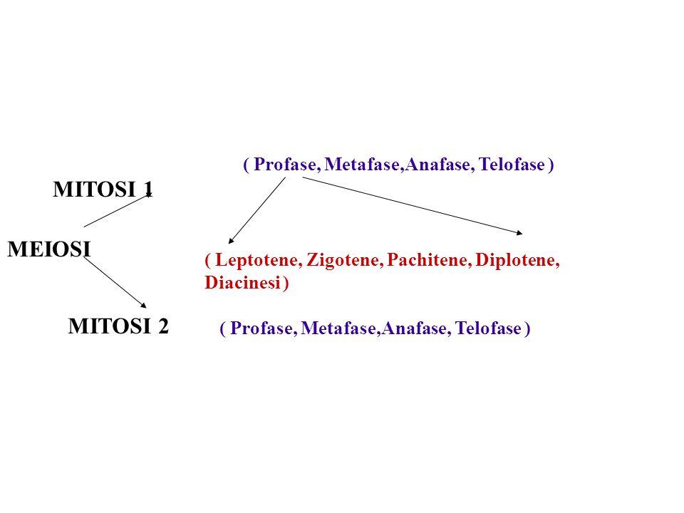 MITOSI 1 MEIOSI MITOSI 2 ( Profase, Metafase,Anafase, Telofase )