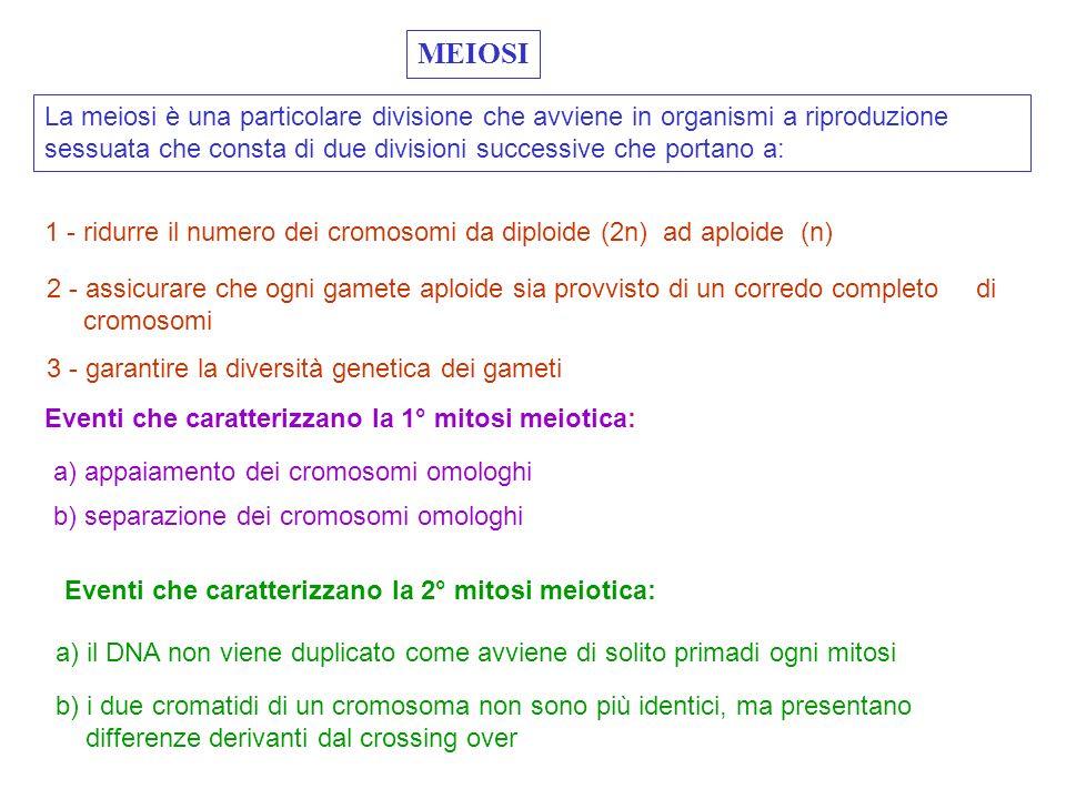 MEIOSI La meiosi è una particolare divisione che avviene in organismi a riproduzione sessuata che consta di due divisioni successive che portano a: