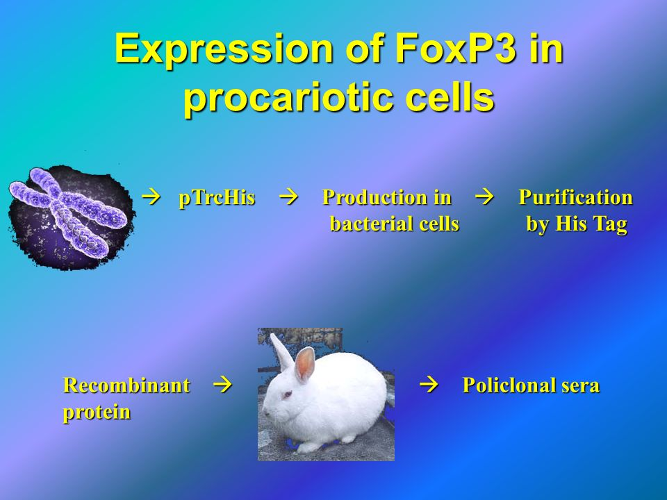 Expression of FoxP3 in procariotic cells