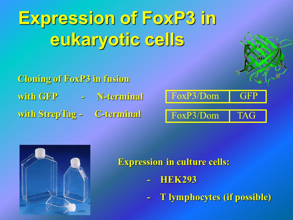 Expression of FoxP3 in eukaryotic cells
