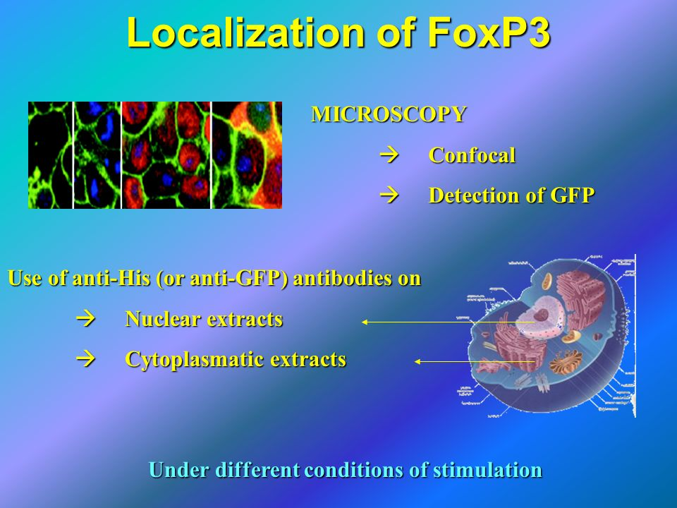Localization of FoxP3 MICROSCOPY  Confocal  Detection of GFP