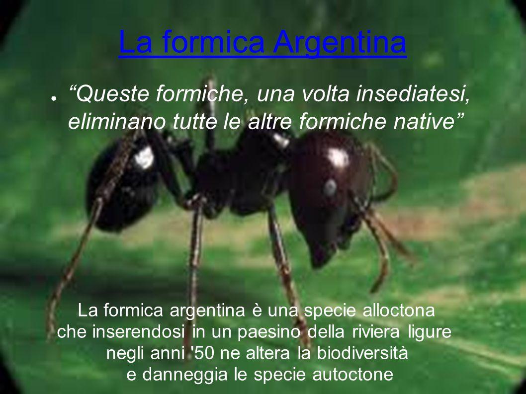 La formica Argentina Queste formiche, una volta insediatesi, eliminano tutte le altre formiche native