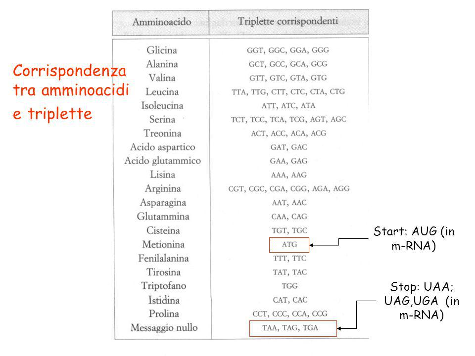 Stop: UAA; UAG,UGA (in m-RNA)