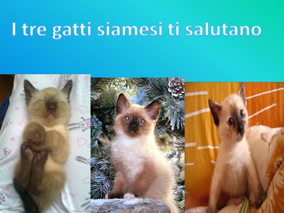 I tre gatti siamesi ti saIutano