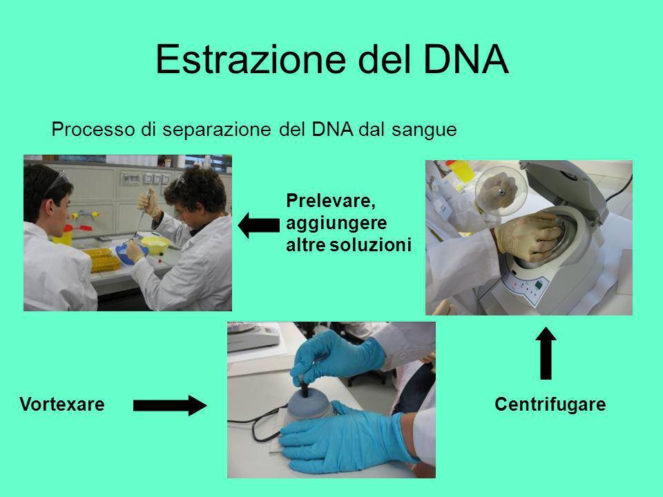 Estrazione del DNA Processo di separazione del DNA dal sangue