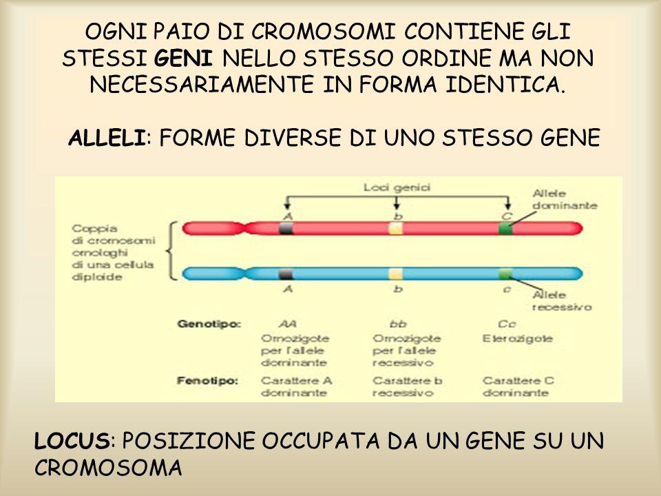OGNI PAIO DI CROMOSOMI CONTIENE GLI STESSI GENI NELLO STESSO ORDINE MA NON NECESSARIAMENTE IN FORMA IDENTICA.