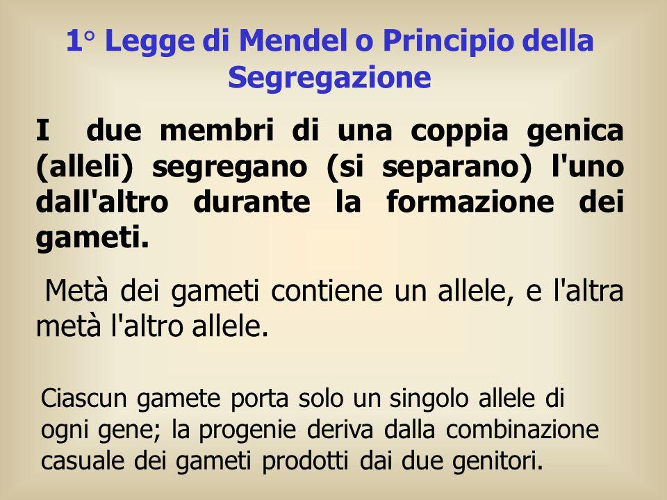 1° Legge di Mendel o Principio della Segregazione