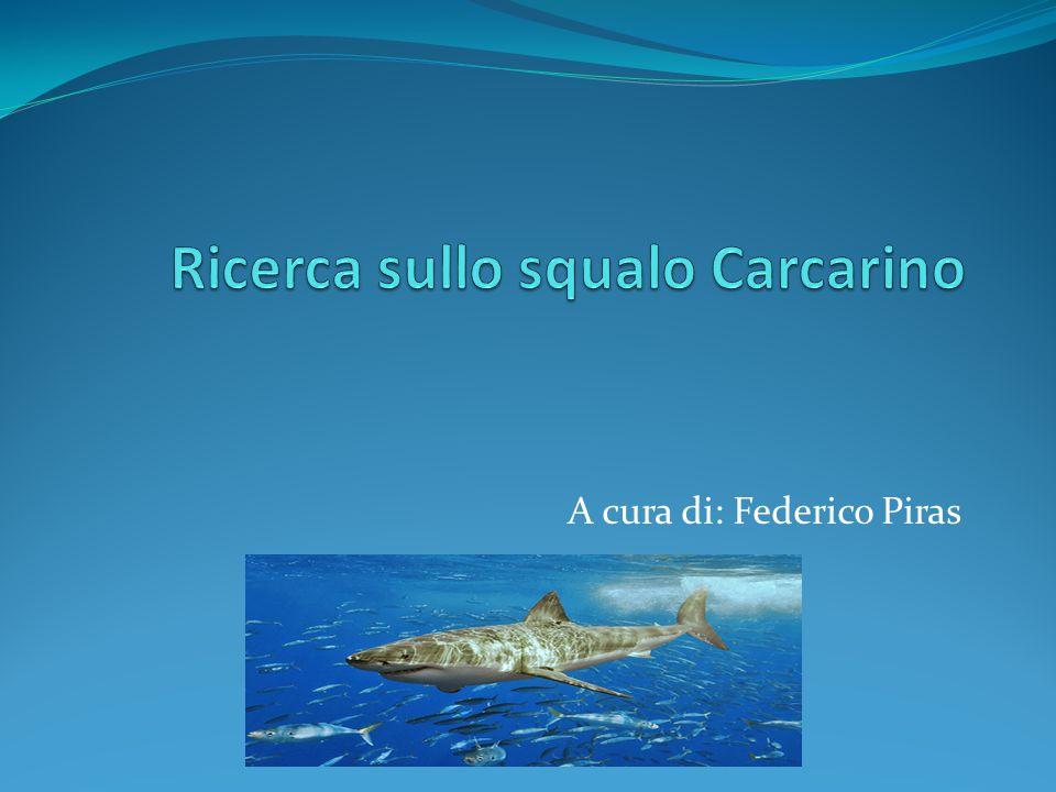 Ricerca sullo squalo Carcarino