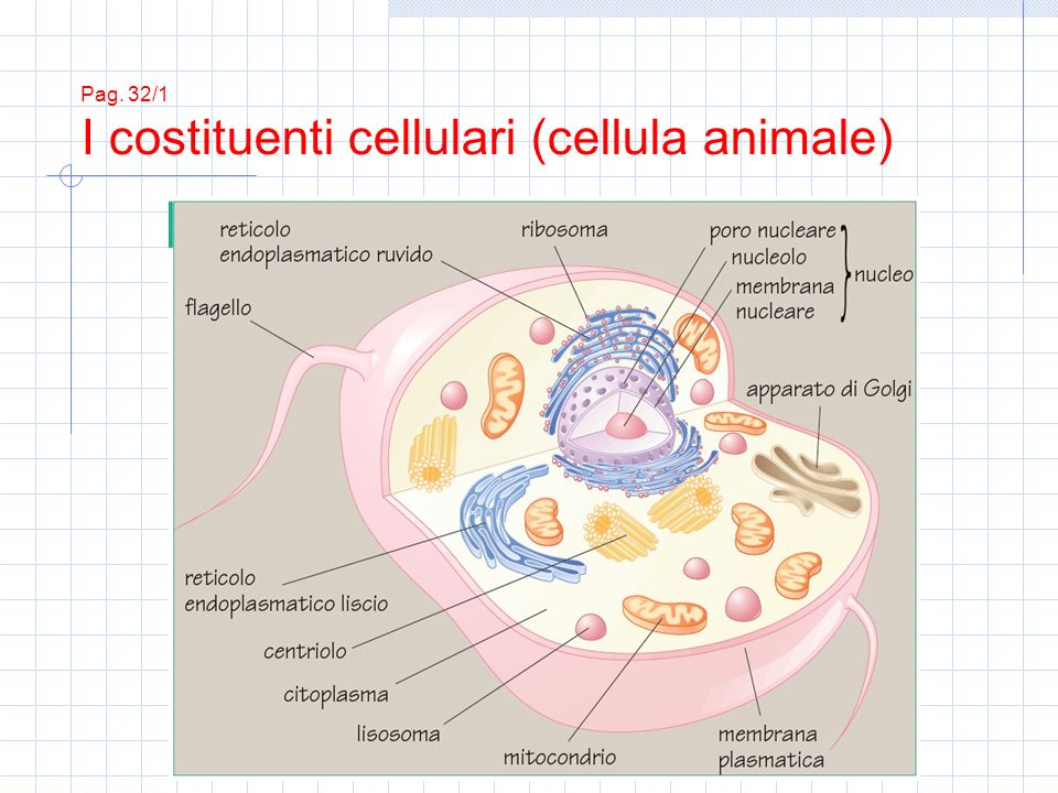 Pag. 32/1 I costituenti cellulari (cellula animale)