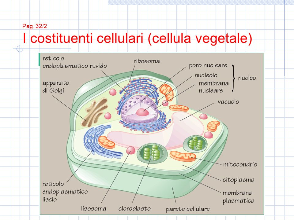 Pag. 32/2 I costituenti cellulari (cellula vegetale)