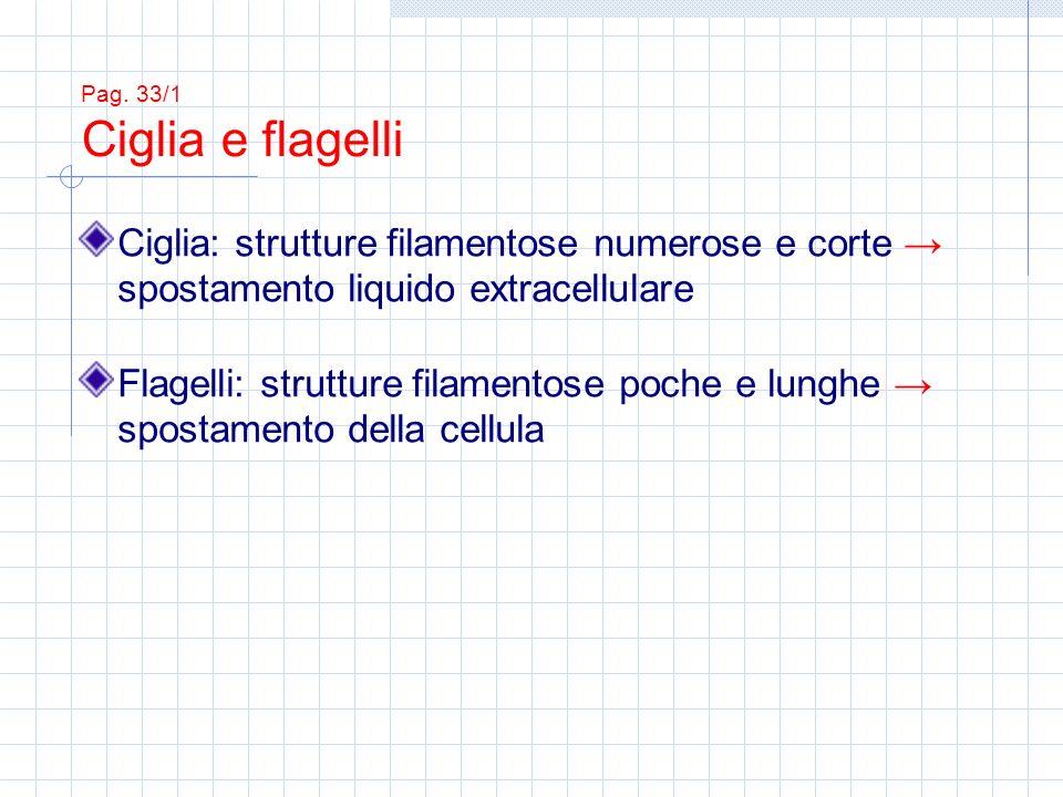 Pag. 33/1 Ciglia e flagelli Ciglia: strutture filamentose numerose e corte → spostamento liquido extracellulare.