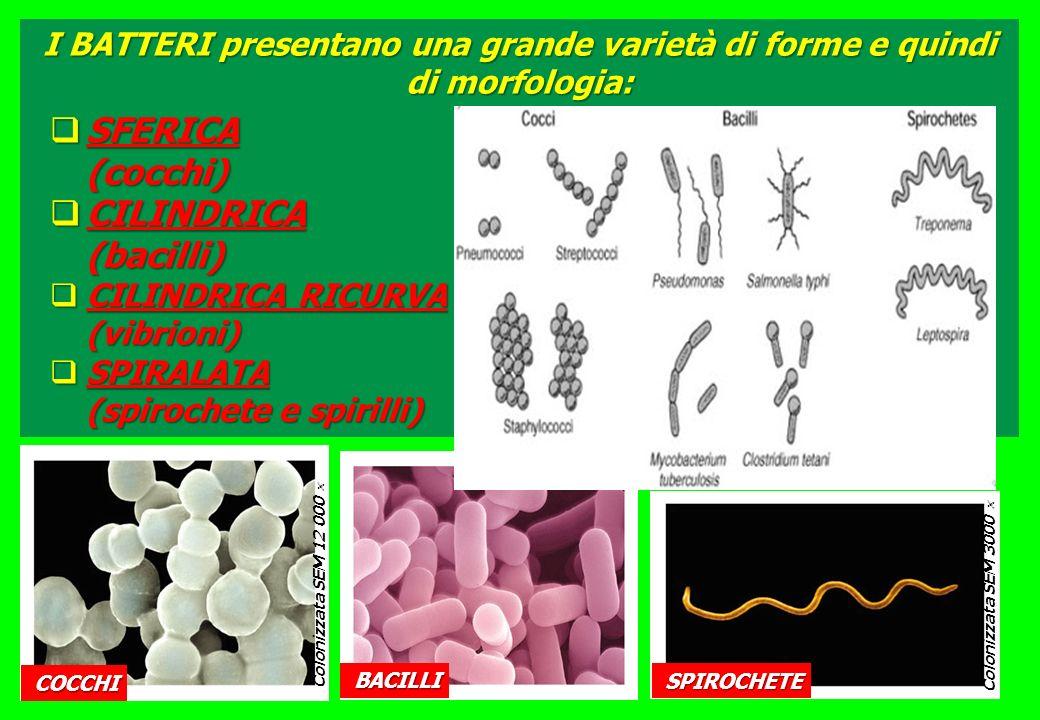 SFERICA (cocchi) CILINDRICA (bacilli)