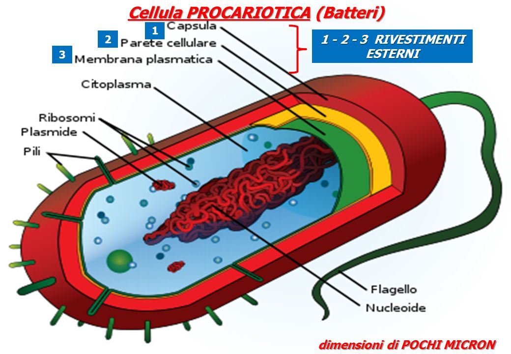 Cellula PROCARIOTICA (Batteri)