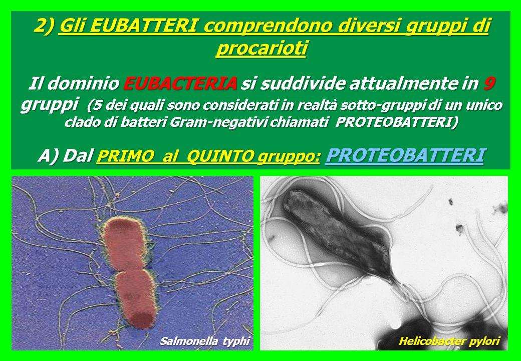 2) Gli EUBATTERI comprendono diversi gruppi di procarioti