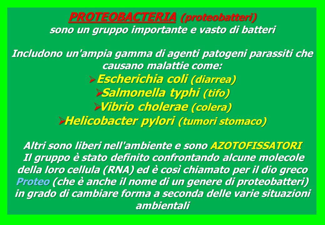 Salmonella typhi (tifo) Vibrio cholerae (colera)