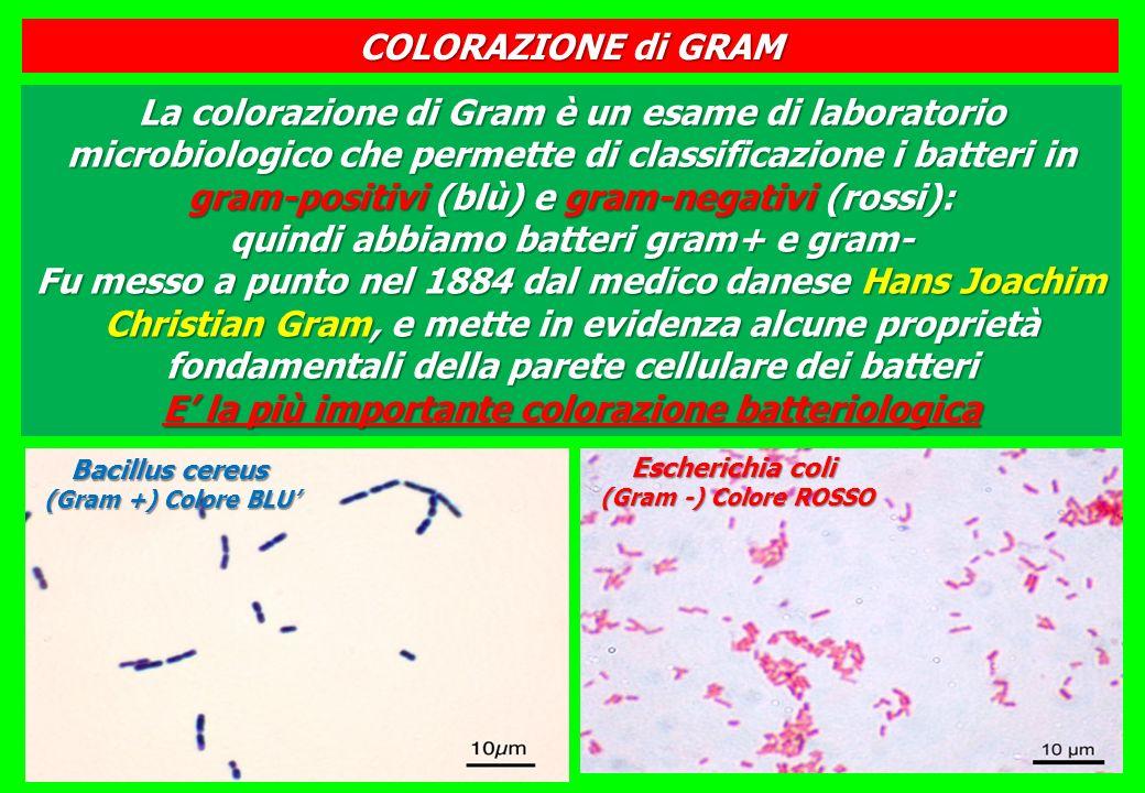 E' la più importante colorazione batteriologica