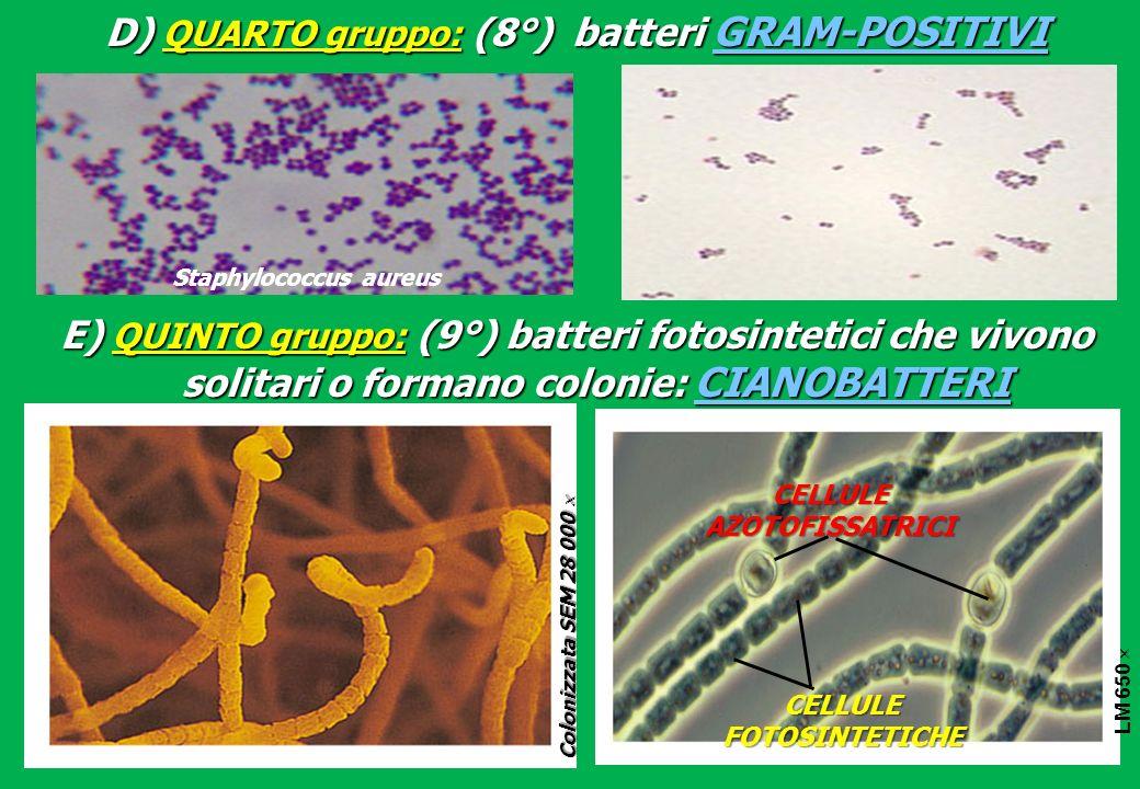 D) QUARTO gruppo: (8°) batteri GRAM-POSITIVI Staphylococcus aureus