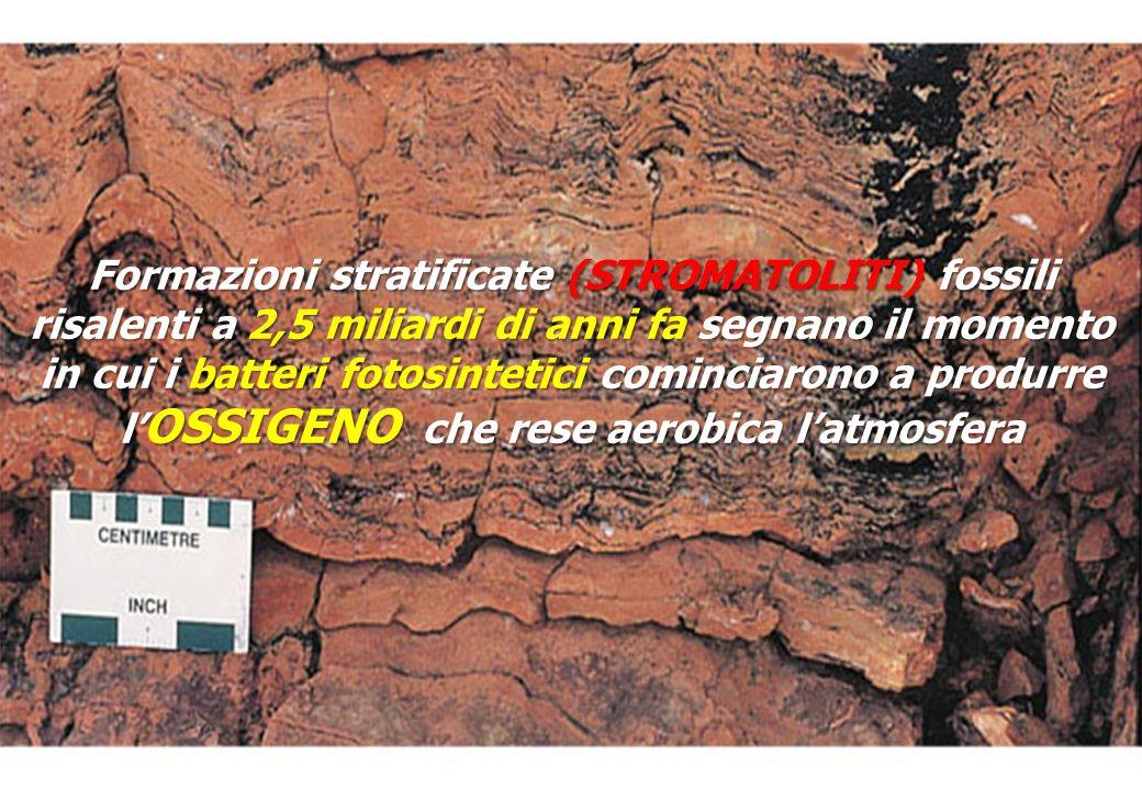 Formazioni stratificate (STROMATOLITI) fossili risalenti a 2,5 miliardi di anni fa segnano il momento in cui i batteri fotosintetici cominciarono a produrre l'OSSIGENO che rese aerobica l'atmosfera