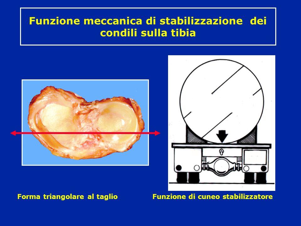Funzione meccanica di stabilizzazione dei condili sulla tibia