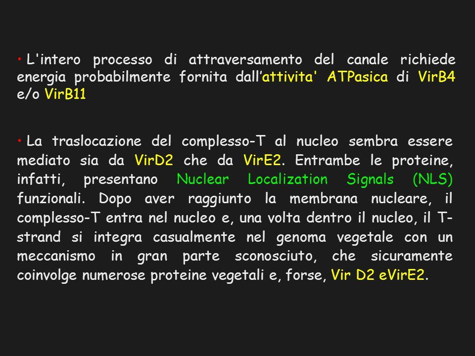 L intero processo di attraversamento del canale richiede energia probabilmente fornita dall'attivita ATPasica di VirB4 e/o VirB11