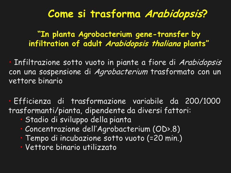 Come si trasforma Arabidopsis