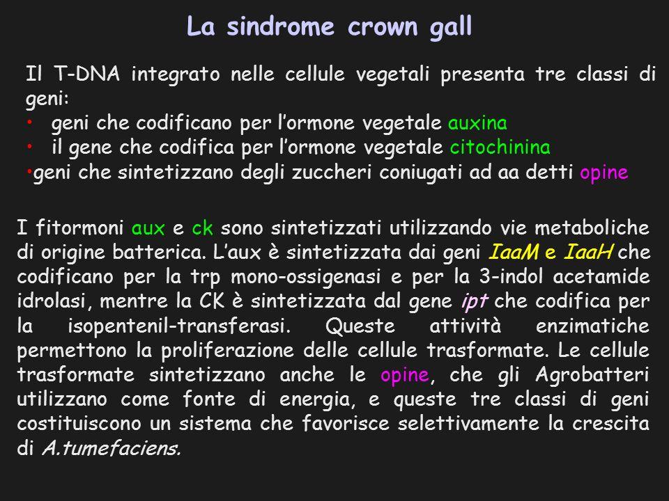 La sindrome crown gall Il T-DNA integrato nelle cellule vegetali presenta tre classi di geni: geni che codificano per l'ormone vegetale auxina.
