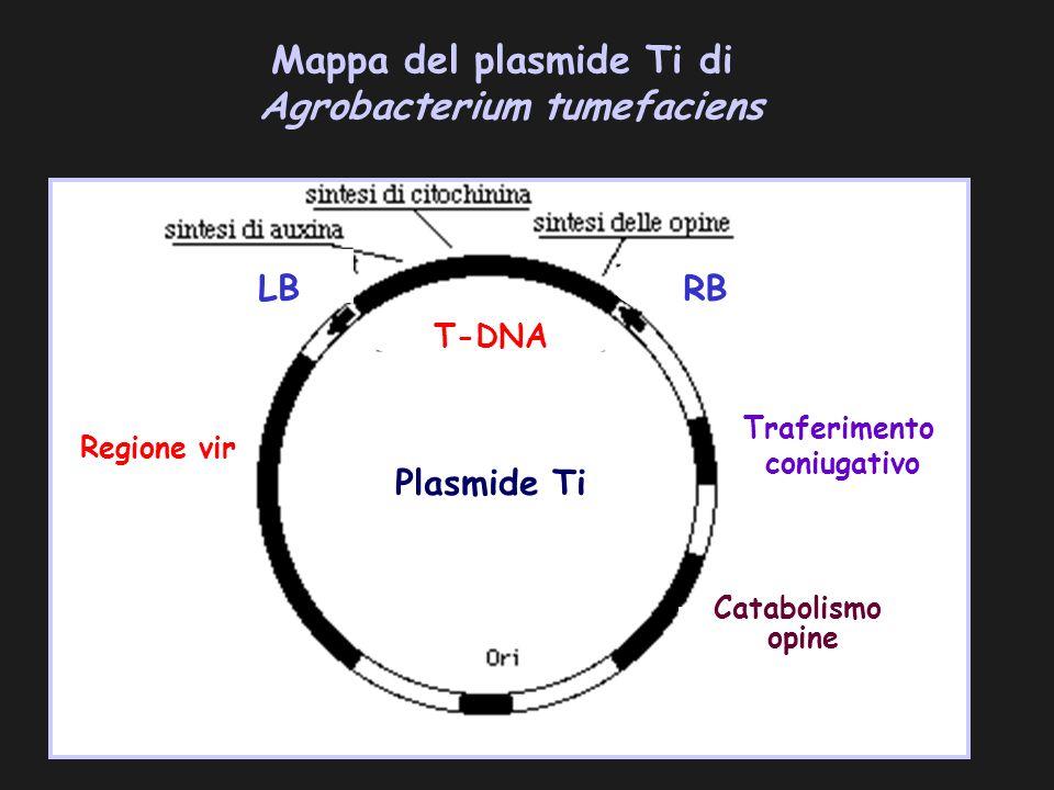 Mappa del plasmide Ti di Agrobacterium tumefaciens