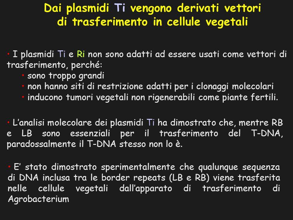 Dai plasmidi Ti vengono derivati vettori di trasferimento in cellule vegetali