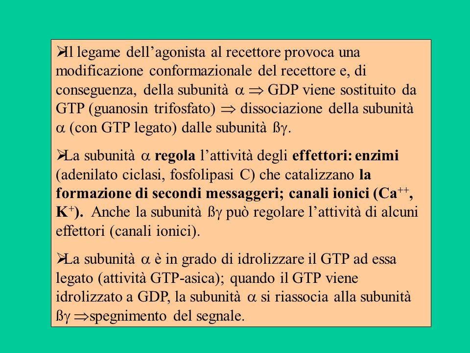 Il legame dell'agonista al recettore provoca una modificazione conformazionale del recettore e, di conseguenza, della subunità   GDP viene sostituito da GTP (guanosin trifosfato)  dissociazione della subunità  (con GTP legato) dalle subunità ß.