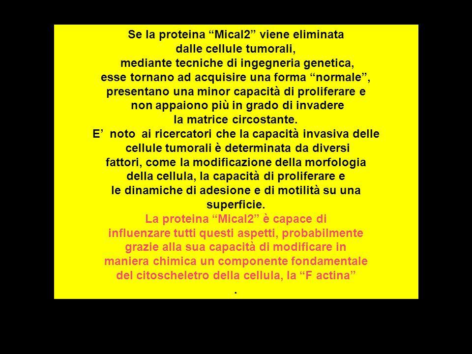 Se la proteina Mical2 viene eliminata dalle cellule tumorali,