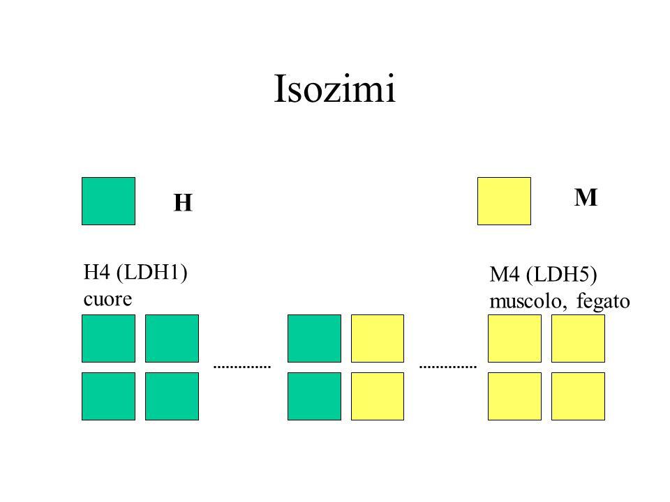 Isozimi H M H4 (LDH1) cuore M4 (LDH5) muscolo, fegato