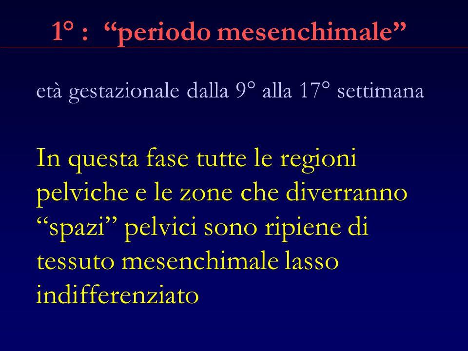 1° : periodo mesenchimale
