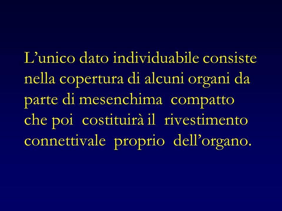 L'unico dato individuabile consiste nella copertura di alcuni organi da parte di mesenchima compatto che poi costituirà il rivestimento connettivale proprio dell'organo.
