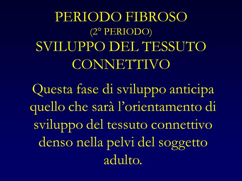 PERIODO FIBROSO (2° PERIODO) SVILUPPO DEL TESSUTO CONNETTIVO