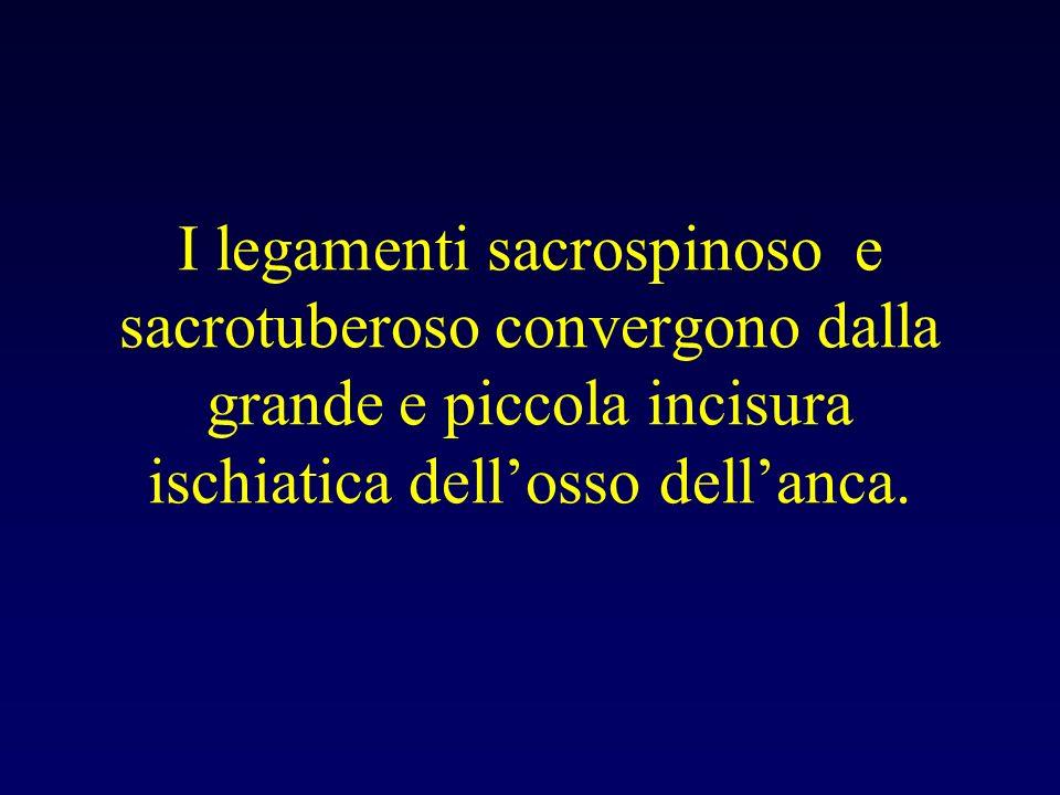 I legamenti sacrospinoso e sacrotuberoso convergono dalla grande e piccola incisura ischiatica dell'osso dell'anca.