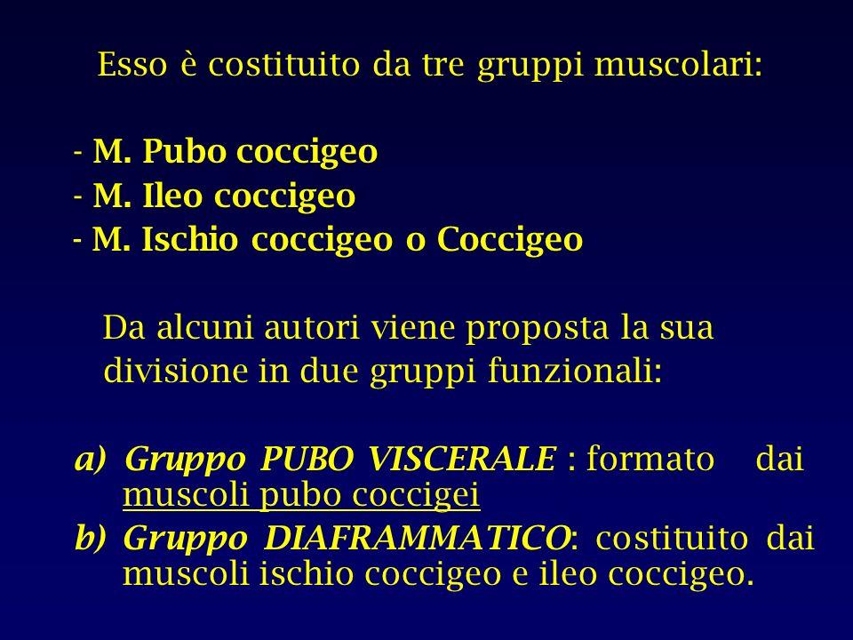Esso è costituito da tre gruppi muscolari:
