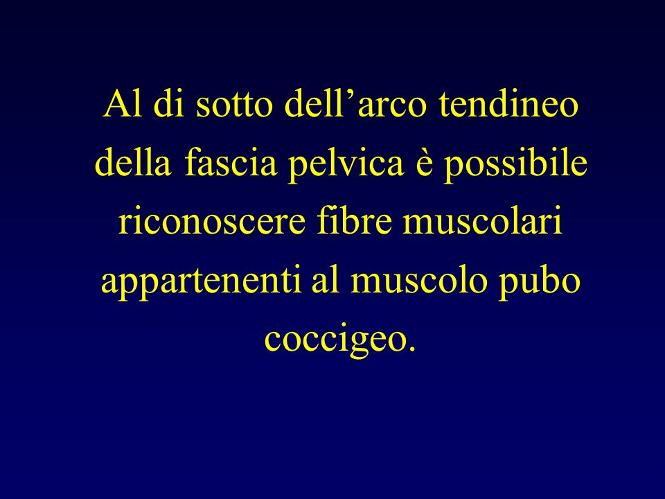 Al di sotto dell'arco tendineo della fascia pelvica è possibile riconoscere fibre muscolari appartenenti al muscolo pubo coccigeo.