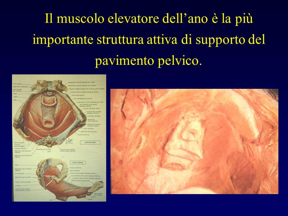 Il muscolo elevatore dell'ano è la più importante struttura attiva di supporto del pavimento pelvico.