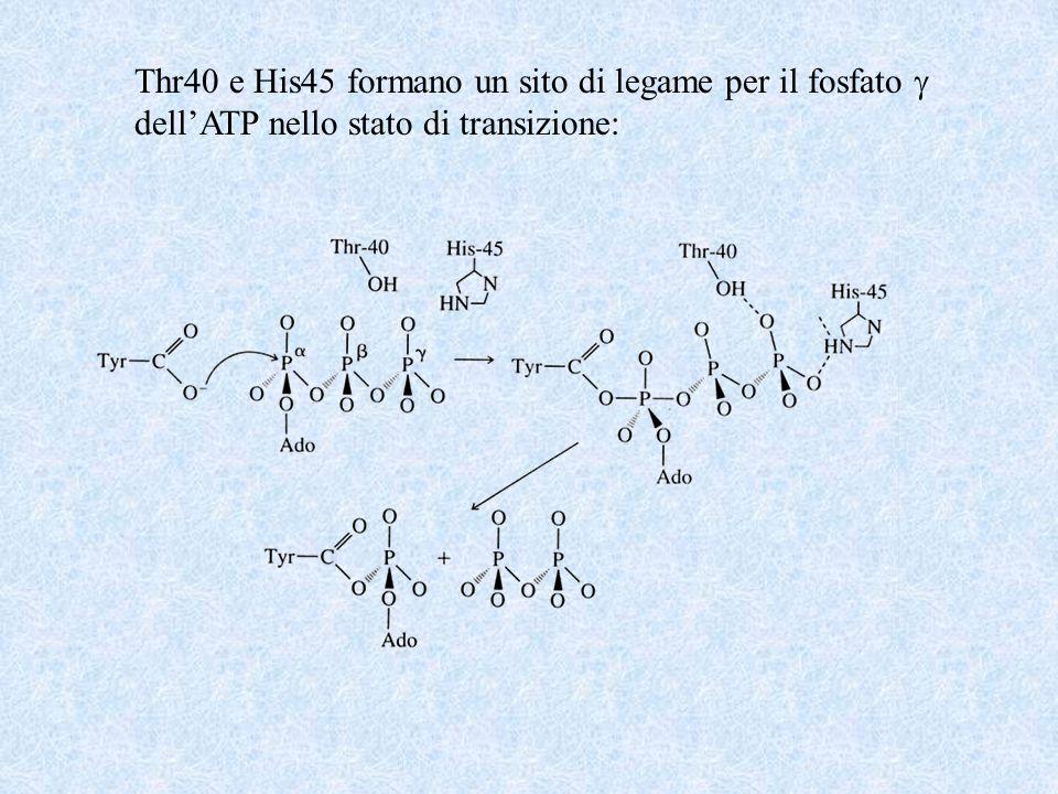 Thr40 e His45 formano un sito di legame per il fosfato 