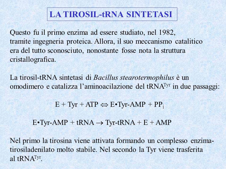 LA TIROSIL-tRNA SINTETASI