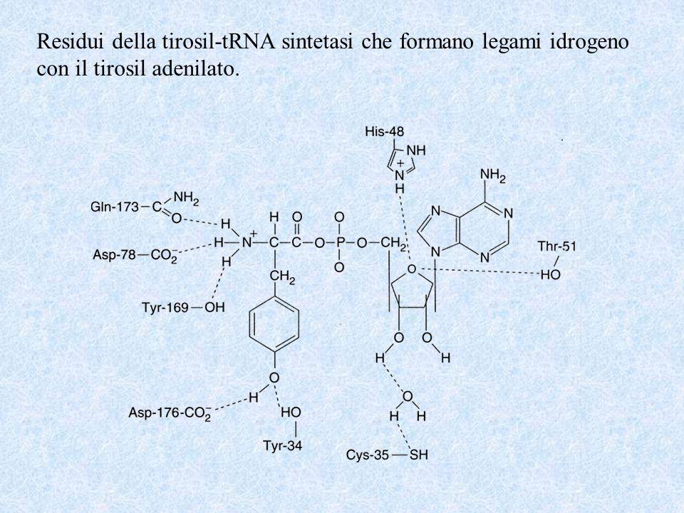 Residui della tirosil-tRNA sintetasi che formano legami idrogeno